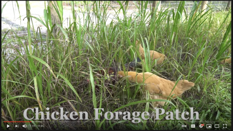 FYI: How to Grow Chicken Feed.